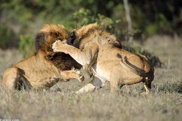 نبرد مهیب شیرها برای قلمرویشان